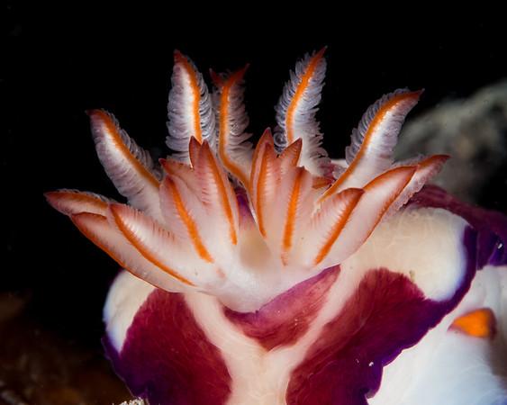 Nudibranch Gills - Amanda Blanksby