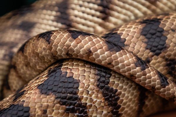 Snake - Susi Nodding