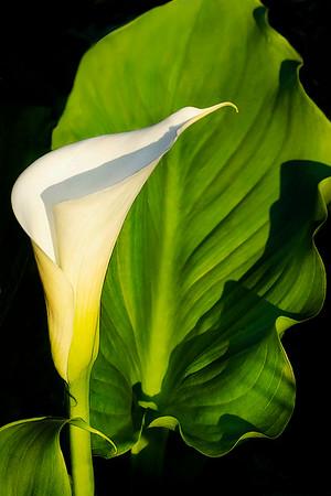 Lily - Sybille Bonow