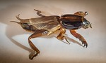 Mole Cricket - Steve Brown