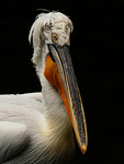 Dalmation Pelican - Fred Armstrong