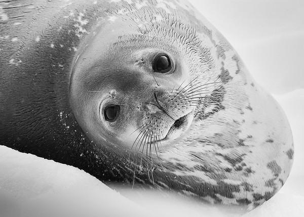 Baby Seal - Ann Jones