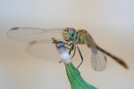 Dragonfly - Amanda Blanksby