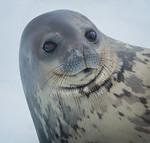 Seal Pup - Ann Jones