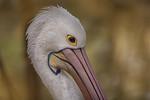 Pelican - Susi Nodding
