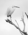 Great Egret - Robert Woodbury