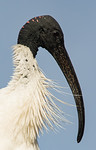 Ibis in Side Profile - Marise Fitzmaurice