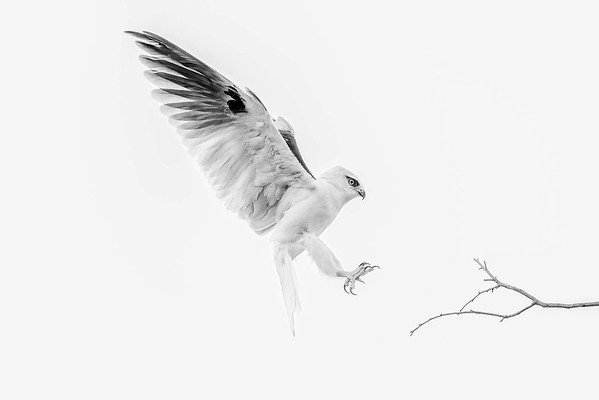 Black Shouldered Kite - Robert Woodbury