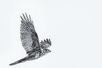 Swamp Harrier - Robert Woodbury
