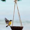 20120214-1526-8 x 12 sugar bird low res