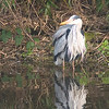 Bathing Heron