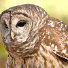 Barred Owl, photographed at Brown County State Park, Indiana