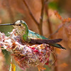 Hummingbird in Nest 2