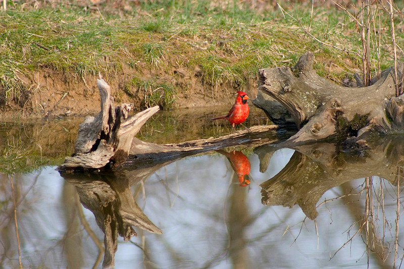 Cardinal in Pond