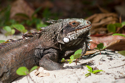 Iguana, photographed on St. John, USVI