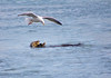 Sea Otter and Gull
