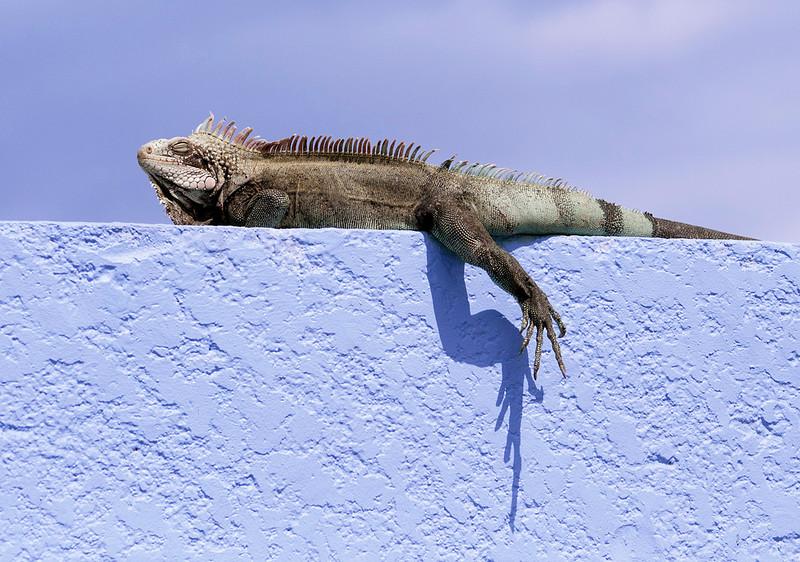 Iguana on Wall