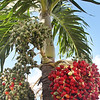 20190118-0395-Palm Tree with Fruit-Low Res