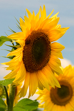 20050811-5911-Sunflowers-low res