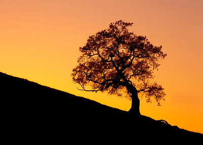 Lone Oak at Sunset