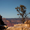 Lone Tree at Grand Canyon