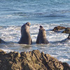 Two bull elephant seals, near San Simeon, California. These two were having a loud and physical discussion about who would be where on the beach.