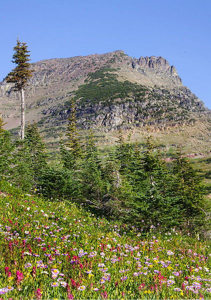 Wildflowers at Glacier