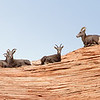 Big Horn Sheep Panoramic