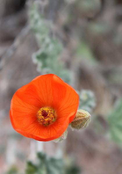 Orange Desert Bloom