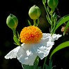 Spring Bloom, Southern California, Fried Egg Poppy