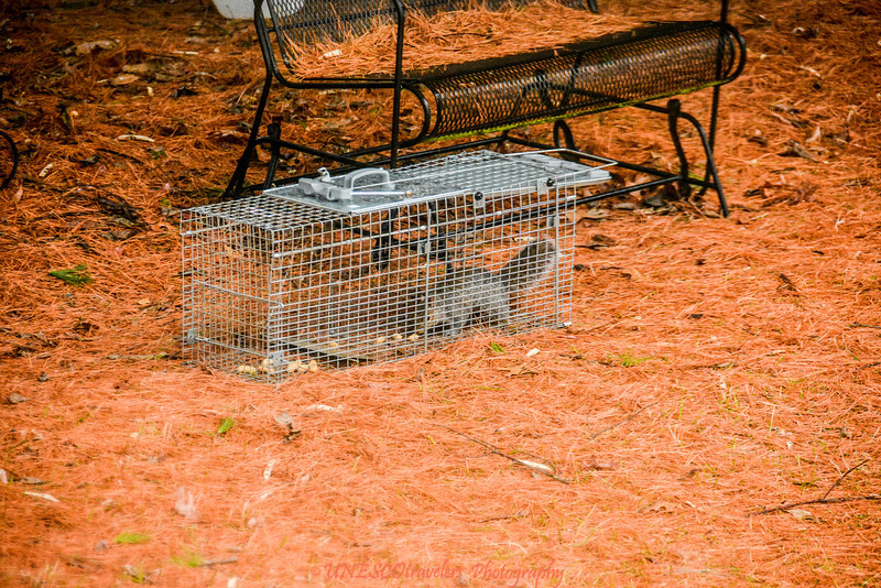 Squirrel entering trap for peanuts