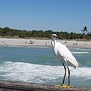 An egret on the fishing wharf at Venice.....hanging around for a treat....we had gone here to search for shark's teeth....apparently after rough seas they wash up on the beach - of course, hundreds of other visitors know the same thing !!!