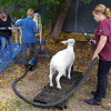 We were starting our visit to the Salmon Arm Fall Fair with the sheep judging area....they also displayed goats, cows and horses.