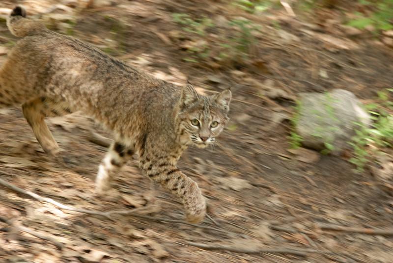 Bobcat 1-Before