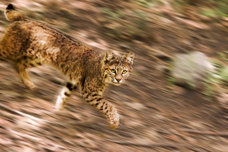Bobcat 2-After