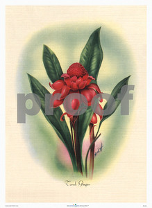 134: Mundorff -- 'Torch Ginger' Art Print, ca 1940-1950. (PROOF watermark will not appear on your print)