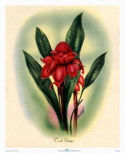 134: Mundorff -- 'Torch Ginger' Art Print, ca 1940-1950