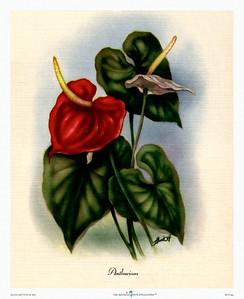 131: 'Anthurium' by Ted Mundorff Floral illustration -- ca 1950