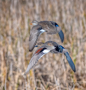 Gadwall Hen and Drake on the move