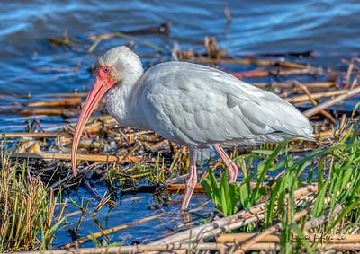 Colorful White Ibis exploring the Shovelers shoreline