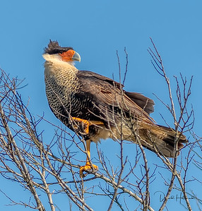 The colorful Caracara clamps onto branches to steady his perch