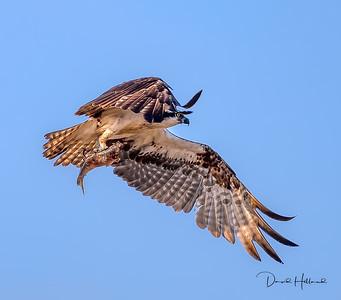 A few more shots of the fish grabbin' Osprey @ ANWR