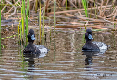 These two Ring-necked Ducks turned my way for just a moment...