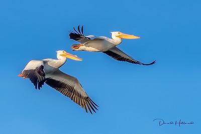 A graceful Pelican flyby @ ANWR