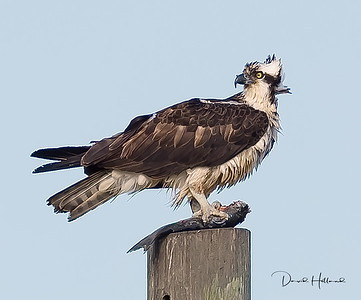 We interrupted this Osprey's fish lunch and he quickly departed his post
