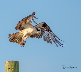 """Amazing what a slight angle change can do to to the lighting of a photo! Mr Osprey grabs his fish """"to go"""""""