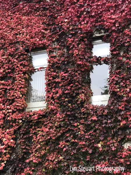 striking vine on the buildings in Old Aberdeen (still trying to find out the name of this plant)