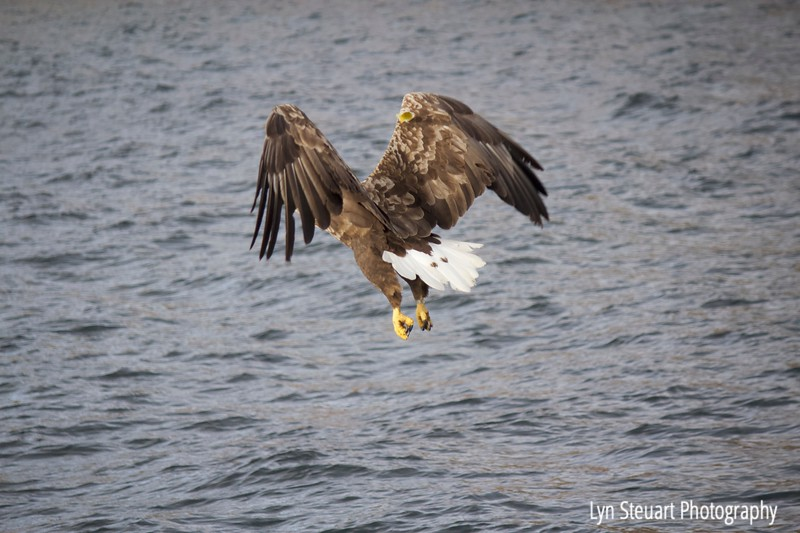 Whitetail Eagle (Sea Eagle) flying in for the catch off the coast of the Isle of Raasay