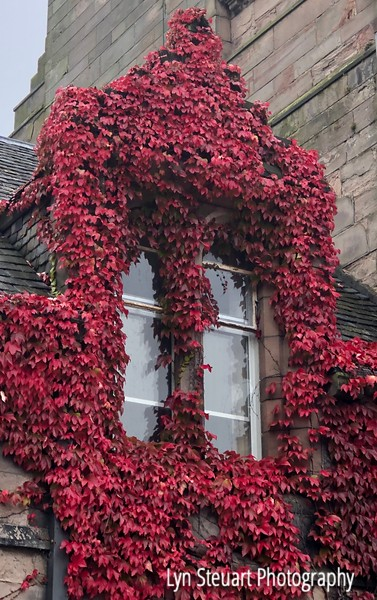 Vine ( unknown name) climbs campus buildings of University of Aberdeen