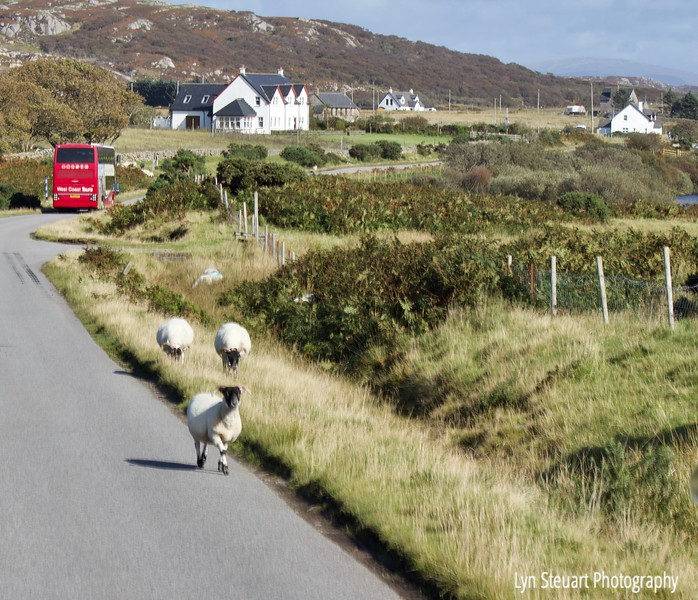 Sharing the road with the sheep on the Isle of Mull